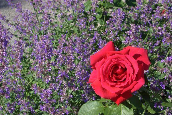 Rose Companions Lady S Mantle Cat Mint Dianthus Lavender Sun