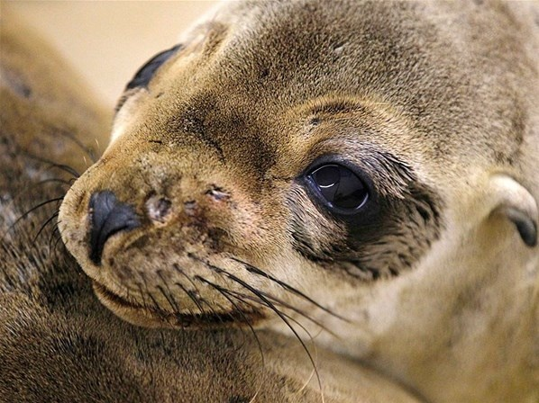 Um filhote de leão-marinho ferido se recupera no Centro de Amamentação Marinha do Pacífico, na cidade de Laguna Beach, Califórnia. O animal, ferido, foi arrastado até a costa do Condado de Orange