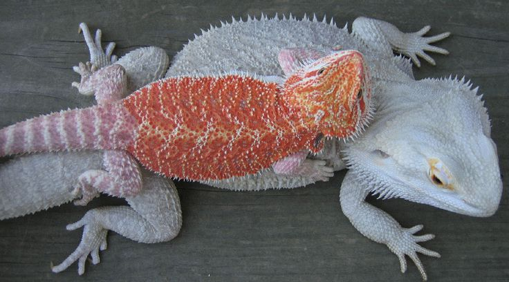 Red & White Bearded Dragons.