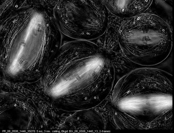 I Gotta Split! Image of the Week - November 27, 2017  CIL:10723 - http://www.cellimagelibrary.org/images/10723  Movie of anaphase B (spindle elongation) of meiosis I in primary spermatocytes of the crane-fly Nephrotoma suturalis.  James R. LaFountain and Rudolf Oldenbourg  Public Domain
