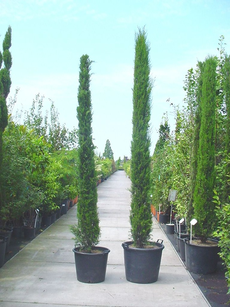 cupressus sempervirens stricta s ulenzypresse hier in. Black Bedroom Furniture Sets. Home Design Ideas