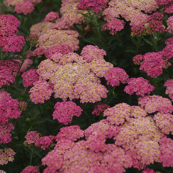 Achillea Sassy Summer Taffy Ppaf 25 Br Plants Plants Pink Perennials Perennials