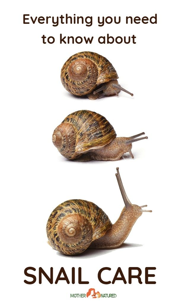 Keeping Pet Snails: Everything you need to know about ...