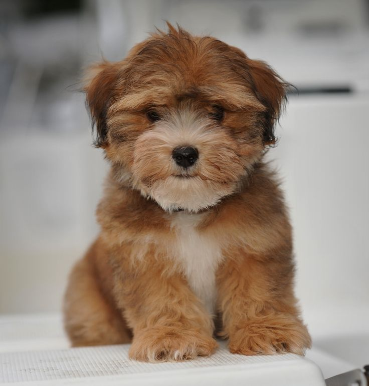 I have never seen a red Havanese