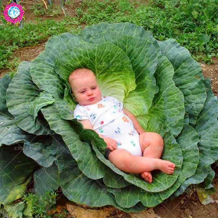 200pcs Giant Russian Cabbage seeds NonGMO natural organic
