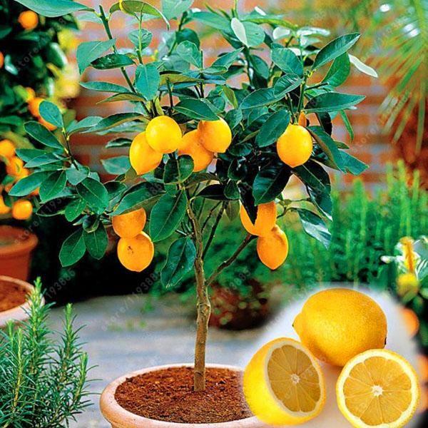 Egrow 20 Pcs/Pack Edible Yellow Lemon Seed Citrus Bonsai Home Garden Fresh Lemon Fru