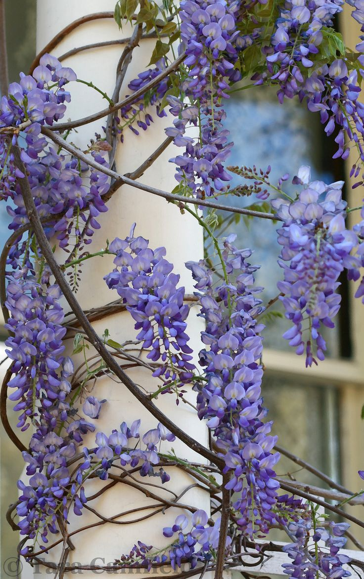 17 best images about wisteria wonderful on pinterest for The wisteria
