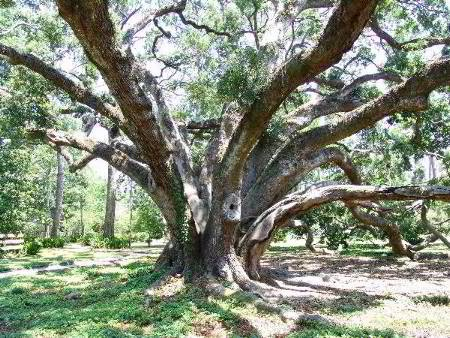 The Seven Sisters Oak is the largest certified southern live oak tree. Located in Mandeville, Louisiana, it is estimated to be up to 1,500 years old with a trunk that measures 38 feet This oak is also the National Champion on the National Register of Big Trees and the Champion Oak of Louisiana according to the Louisiana Forestry Association. The owner who first named the tree was Carole Hendry Doby, who was one of seven sisters. http://en.wikipedia.org/wiki/Seven_Sisters_Oak