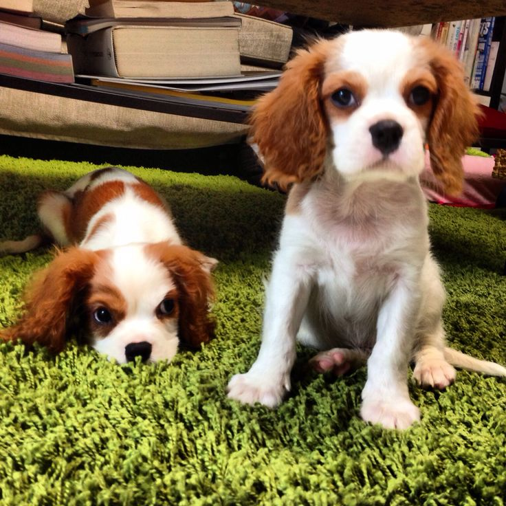 Luzy and Charlie when they were puppies! #kingcharlesspaniels #dogs #puppies #animals #pets #cute #love