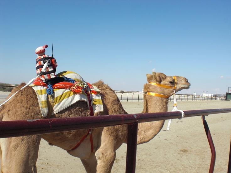 Camel racing with robot jockeys, Abu Dhabi, United Arab ...