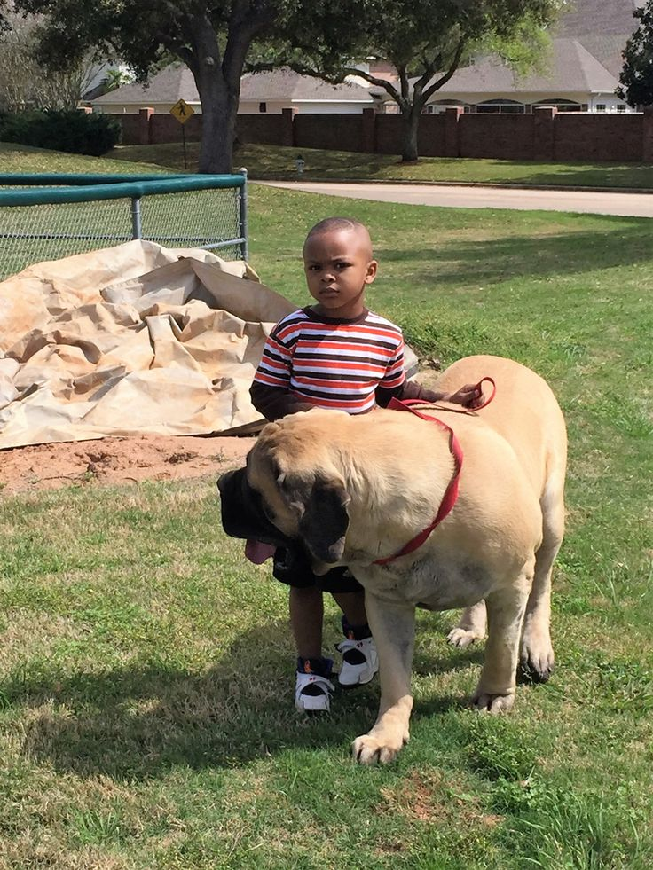 At Davis Mastiffs we are dedicated to the continuous improvement of the English Mastiff. We have English Mastiff puppies for sale with good quality lines.