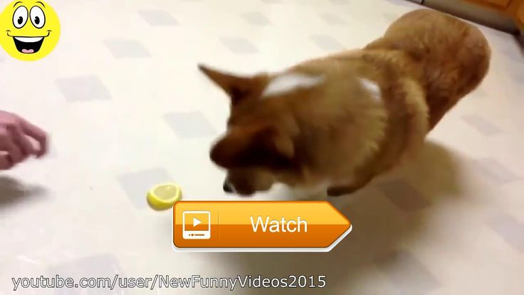 Meo Meo TV Best Funny Videos Funny Cats and Dogs vs Lemons Funny Animal Compilation  Meo Meo TV Best Funny Videos Funny Cats and Dogs vs Lemons Funny Animal Compilation Meo Meo TV New video funny Thanks for watching rating  on Pet Lovers
