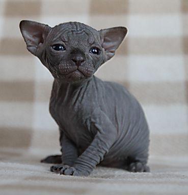 Kara Sphynx kedi yavrusu