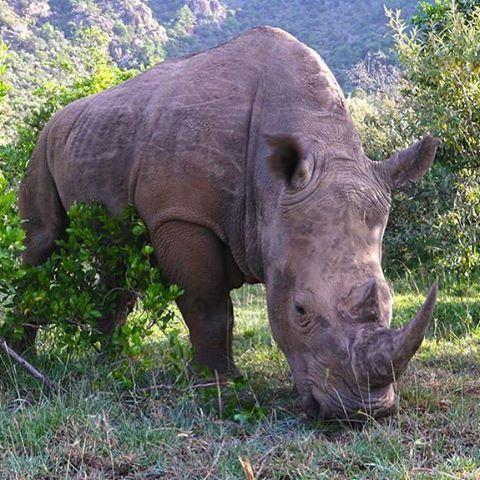 A White rhinoceros, in the Masai Mara <3