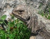 Iguana at Yerba Loca, Chile. Meet hundreds of them in your day tour with Ecochile.
