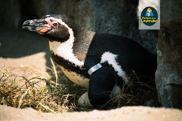 Pingüino de Humboldt. No existe diferencias físicas entre machos y hembras. Ambos padres se turnan para incubar sus huevos y alimentar a sus polluelos una vez nacidos. Se alimentan de peces, calamares y camarones. ¿Sabías qué? Vive en las costas desérticas de Perú y Chile,  Es una de las especies de pingüinos que no viven en hielo.