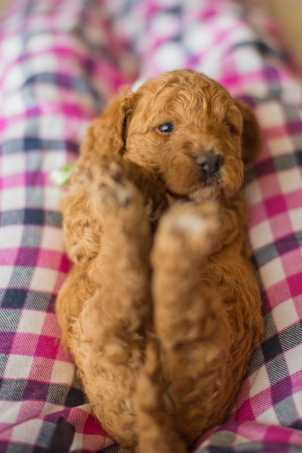 This Charming Golden Cavoodle Puppy Is Available For Sale To A