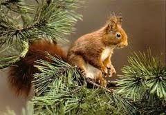 Eekhoorn rode eekhoorn in Nederland komt alleen de rode eekhoorn voor in verschillende soorten, over de gehele wereld kennen we wel plusminus 270 verschillende soorten eekhoorns. Eekhoorn rode eekhoorn hoe ziet een eekhoorn eruit, wat eten ze, waar kunnen we ze tegenkomen en nog meerdere zaken komen in dit artikel aan de orde.