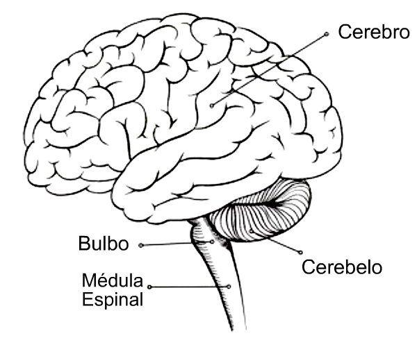Cervell Dibujo Del Sistema Nervioso Sistema Nervioso Para Colorear Sistema Nervioso