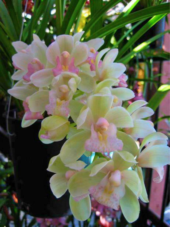 Cymbidium orchids:
