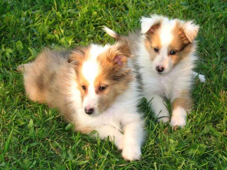 Adorable Sheltie Puppies. For more cute puppies, check out our youtube channel: https://www.youtube.com/channel/UCH7efODYtEdnWfAm1eS4NMA
