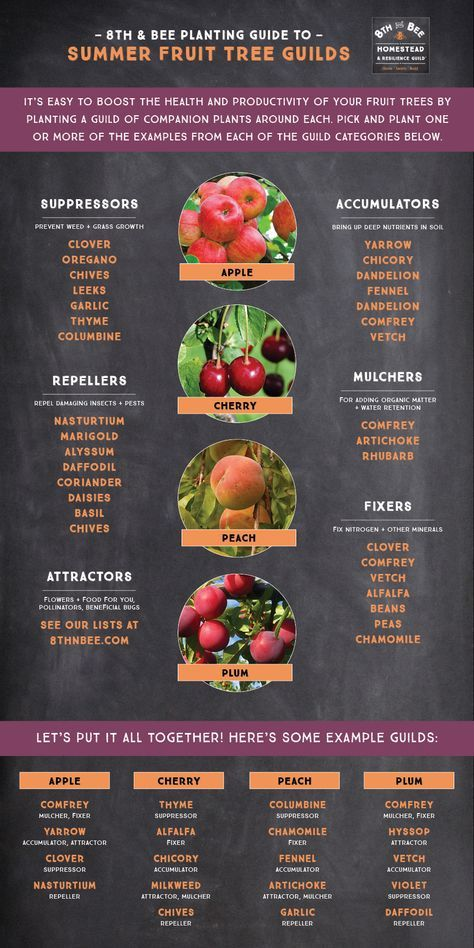 It's easy to boost the health and production of your Summer fruit trees and grow soil in the process. Check out our companion plant guide for apples, stonefruits, and more at https://8thnbee.com/easy-summer-fruit-tree-plant-guilds/