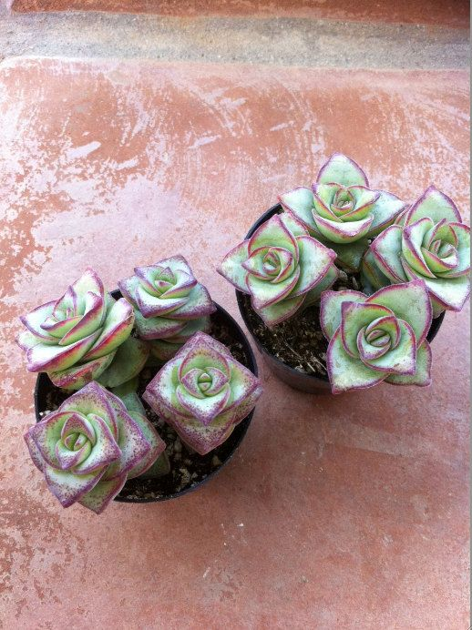 Crassula Perforata (String of Buttons): Succulents Cactus, Plants Crassula, Cactus Succulents, Succulents Plants, Succulents, Plants Grass, Crassula Perforata, Gardens Plants