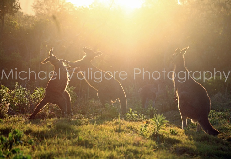 Boxing kangaroos Brooms Head, Australia