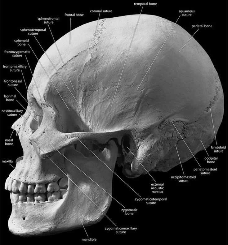 16 best skull research images on pinterest skulls skull art and primary reference fandeluxe Image collections
