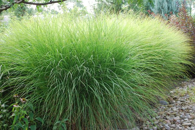 "Miscanthus sinensis ""Gracillimus"" Maiden Grass (or Fountain Grass?)"