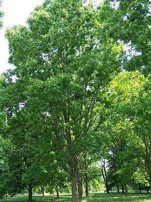 """#Pekannussbaum (Carya illinoinensis)  """"Der Pekannussbaum (Carya illinoinensis),[1] eine andere Schreibweise ist Pecannussbaum,[2] ist eine Pflanzenart der Hickory (Carya) innerhalb der Familie der Walnussgewächse (Juglandaceae). Sie ist in Nordamerika beheimatet und liefert die Pekannüsse."""""""