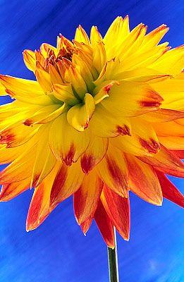 Dahlia: Beautiful Flower, Flowersflowersflow Dahlias, Orange Flower, Blue Sky, Color, Cobalt Blue, Deep Blue, Flower Photography, Yellow Flower