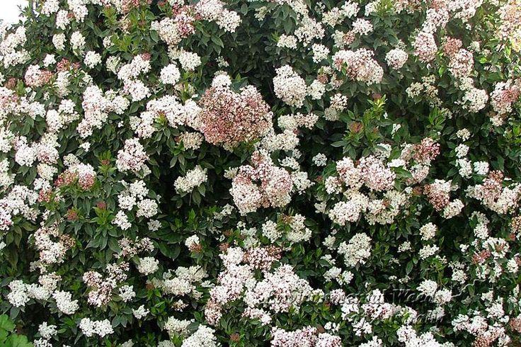 Viburnum tinus: Αειθαλές φυτό που φτάνει σε ύψος τα 2 m. Το σχήμα του είναι σφαιρικό και παράγει λευκορόδινα άνθη σε ταξιανθίες από το Νοέμβριο έως τον Απρίλιο. Φυτεύεται είτε μεμονωμένα είτε σε φράχτες. Καλλωπιστικοί θάμνοι - Φυταγορά Σερρών