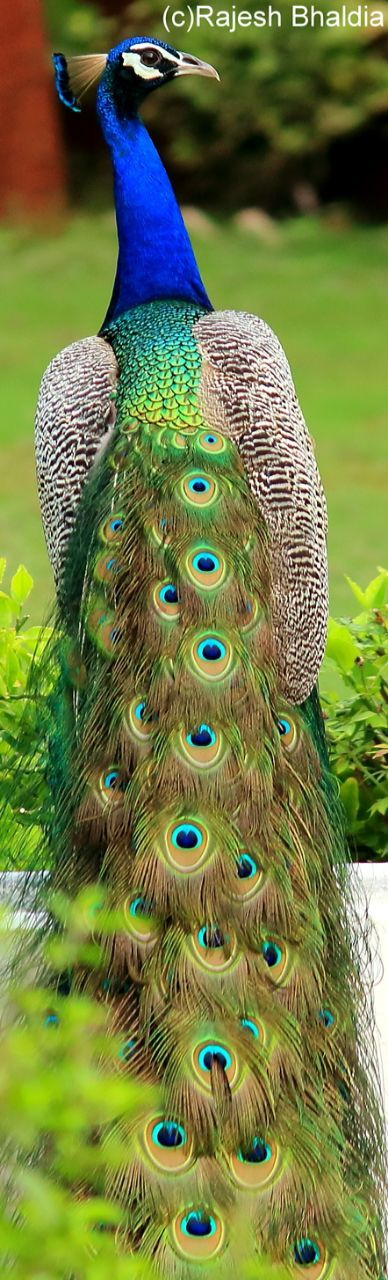 Indian peacock from Gujrat pic. By RB.