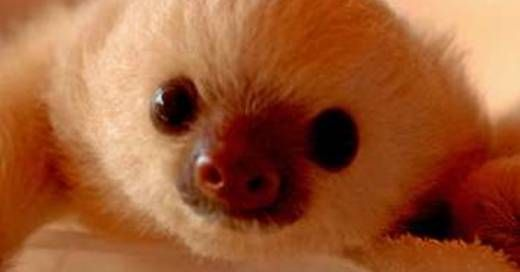 47 Adorable Pictures of Sloths