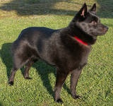 Http Dogtime Com Dog Breeds Schipperke