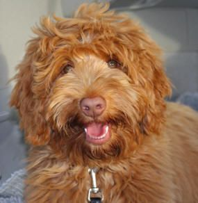 caramel Australian Labradoodle puppies - Yahoo Image Search Results