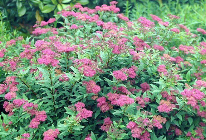16 Invasive Species Sold at Garden Centers You Should Never Buy  Spiraea japonica (Japanese spirea/Japanese Meadowsweet)