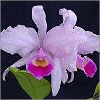 National flower of Colombia. LA FLOR NACIONAL de Colombia