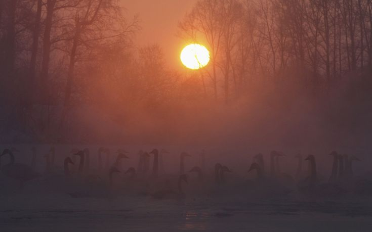 Swans swim over a lake, with the air temperature at about minus 35 degrees Celsius (minus 31 degrees Fahrenheit) as steam rises above the water during sunset near the village of Urozhainy, Sovetsky district of Altai region, Russia