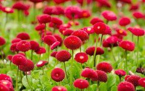 Красные летние цветы маргаритки