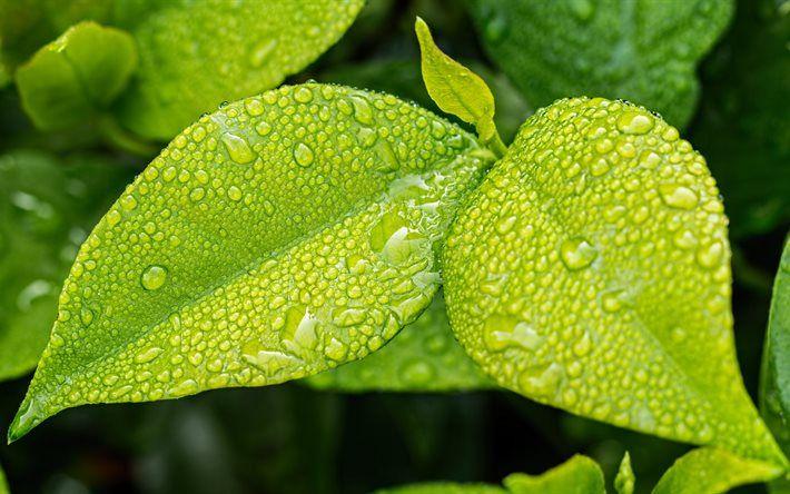 green leaves, 4k, dew, water drops
