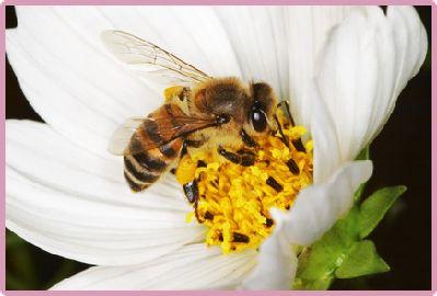 Honey bee species