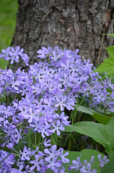Phlox divaricata (Wild Blue Phlox)partil shade