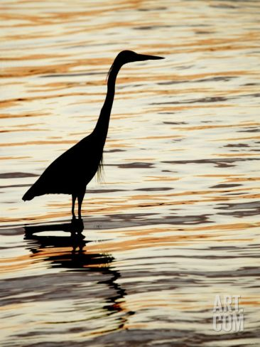 Silhouette of Great Blue Heron in Water at Sunset, Sanibel Fishing Pier, Sanibel, Florida, USA Photographic Print by Arthur Morris. at Art.com