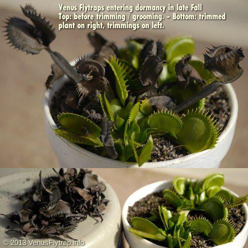 Venus Flytrap dormancy period care tips