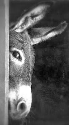 Peeking donkey, so cute! L asinello