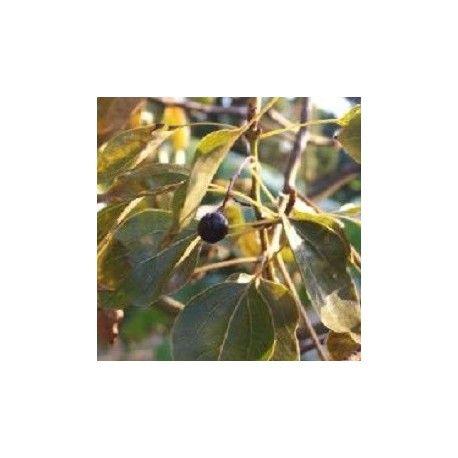 alcanfor, semillas de Cinnamomum camphora en venta para crecer. #alcanfor #cinnamomum #semilla