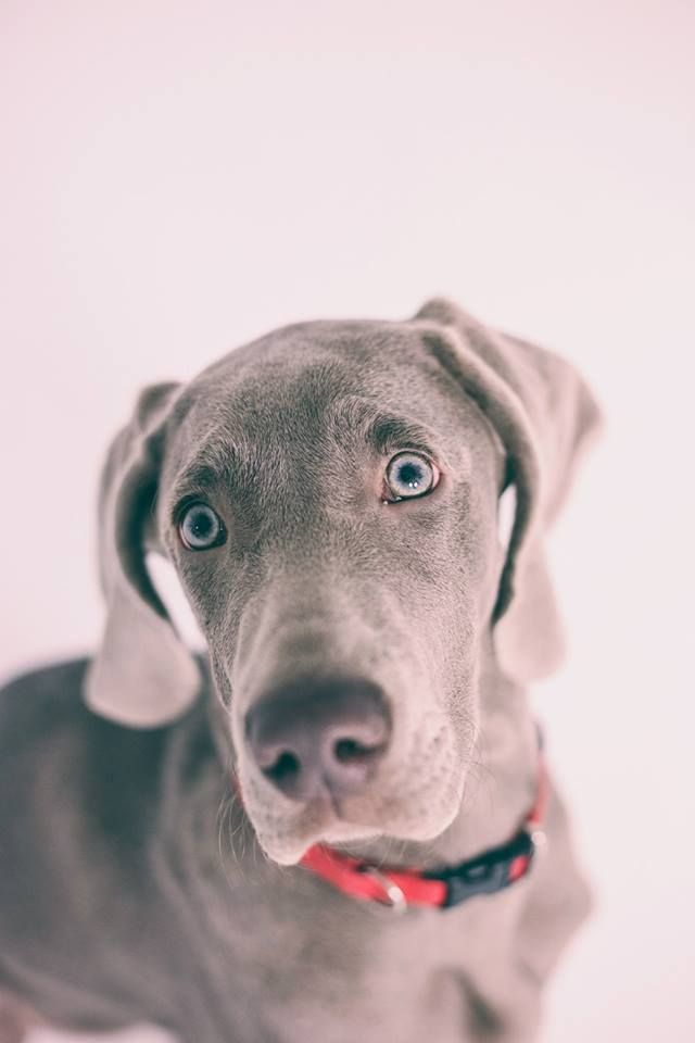 #weimaraner #puppy #photography