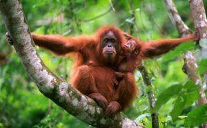 Orang Utan :Binatang Langka di Indonesia